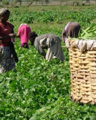 Fruits farmers in field with beans