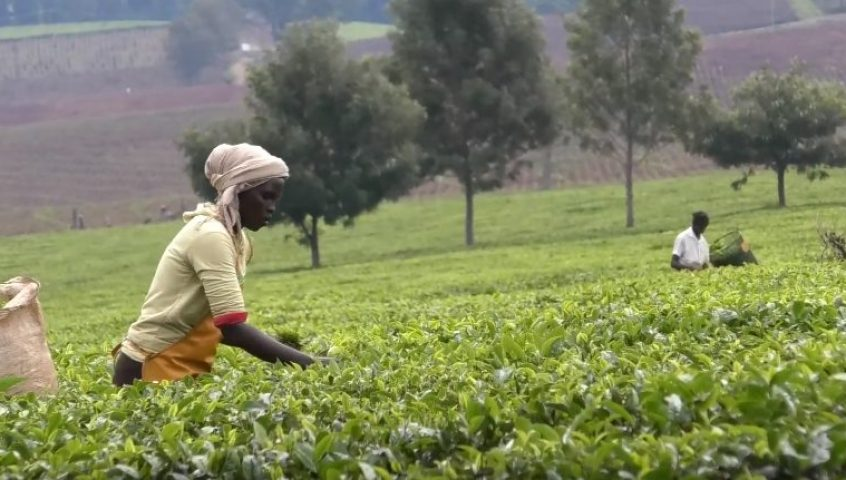 Tea - IDH - the sustainable trade initiative