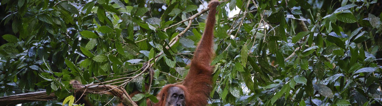 Orangutan in Leuser Ecosystem, Aceh Province, Indonesia