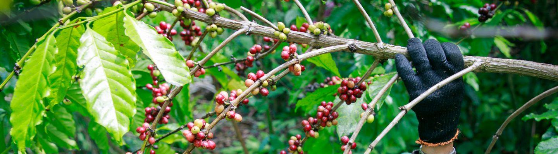 Coffee Central Highlands Vietnam